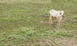 A vaca suave está procurando a grama Fotos de Stock