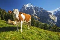 Vaca suiza fotos de archivo