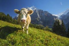 Vaca suiza fotografía de archivo libre de regalías