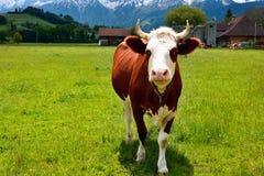 Vaca suiza en un pasto del verano Foto de archivo libre de regalías