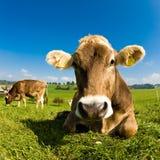 Vaca suiza feliz en hierba verde Fotos de archivo