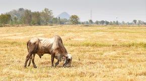 A vaca Tailândia Foto de Stock
