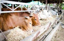 Vaca tailandesa imagens de stock