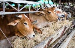 Vaca tailandesa Imagem de Stock Royalty Free