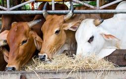 Vaca tailandesa fotos de stock