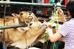Vaca tailandesa que come la hierba en granja en Tailandia fotografía de archivo