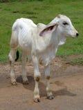 Vaca tailandesa, Tailândia norte. Imagem de Stock