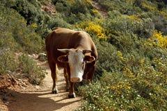 Vaca (taurus do primigentus F. do Bos) Imagens de Stock Royalty Free
