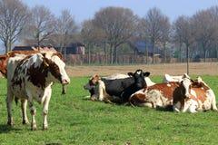 A vaca tem uma memória excelente para tudo que tem que fazer com sua dieta Fotos de Stock Royalty Free