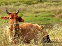 Vaca/touro que relaxa em um remendo da grama, Islamabad, Paquistão Imagens de Stock