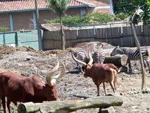 Vaca-touros e zebras imagens de stock