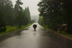 Vaca tres en el camino Imagenes de archivo