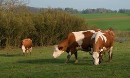 Vaca tres en pasto delante de los arbustos Imágenes de archivo libres de regalías