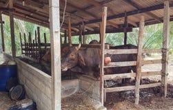 Vaca usada para o alimento Foto de Stock