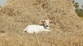 Vaca, vaca joven, pajar, paja, henar del heno metrajes
