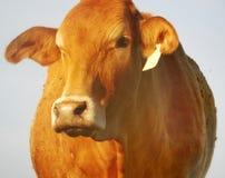 A vaca vermelha imagens de stock royalty free
