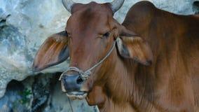 Vaca vermelha asiática video estoque