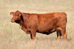 Vaca vermelha de Angus Foto de Stock Royalty Free