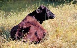 Vaca vermelha de Angus Fotografia de Stock