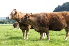 Vaca vermelha de dois músculos fotos de stock