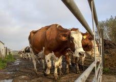 Vaca vermelha e branca, ao lado de uma cerca, esperando na frente de uma porta, em um cowpath a ser ordenhado foto de stock
