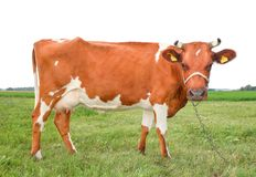 A vaca vermelha e branca manchada muito engraçada está em três pés e olhares severos Vaca isolada no fundo branco fotos de stock