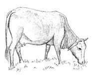 Vaca vietnamita libre illustration