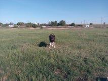 Vaca, vitela, campo, jovem, leiteria, verde, preto, grama, branco, jérsei, animal, Holstein, prado, agricultura, exploração agríc Foto de Stock