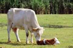 Vaca y apenas becerro nato imagenes de archivo