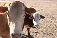 Vaca y becerro Fotos de archivo