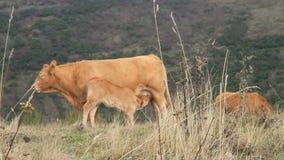 Vaca y becerro almacen de metraje de vídeo