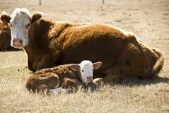 Vaca y becerro Fotos de archivo libres de regalías