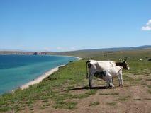 Vaca y becerro Foto de archivo libre de regalías