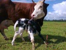 Vaca y becerro Fotografía de archivo libre de regalías