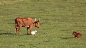 Vaca y becerro de cuernos largos de Tejas almacen de video