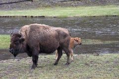 Vaca y becerro del bisonte Fotos de archivo