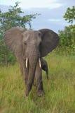 Vaca y becerro del elefante africano Imágenes de archivo libres de regalías