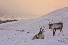 Vaca y becerro del reno en Escocia Imagen de archivo