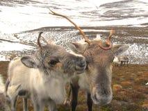 Vaca y becerro del reno en Escocia Fotografía de archivo libre de regalías