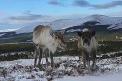 Vaca y becerro del reno en Escocia Imagenes de archivo