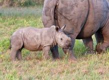 Vaca y becerro del rinoceronte en naturaleza Imagenes de archivo