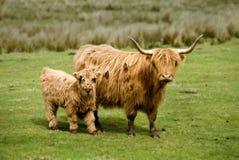Vaca y becerro escoceses de la montaña Foto de archivo libre de regalías