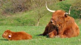 Vaca y becerro lindo del ganado de la montaña Imagen de archivo libre de regalías