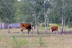 Vaca y becerro que pastan en la hierba entre árboles de abedul Fotografía de archivo libre de regalías