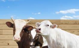 Vaca y becerro y toro foto de archivo