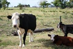 Vaca y becerros Imagenes de archivo