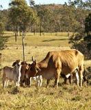 Vaca y becerros Imágenes de archivo libres de regalías