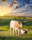 Vaca y becerros del fonolocalizador de bocinas grandes que pastan en la salida del sol Imagen de archivo
