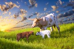 Vaca y becerros del fonolocalizador de bocinas grandes que pastan en la salida del sol Fotografía de archivo libre de regalías