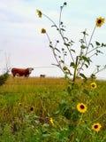 Vaca y flores salvajes imágenes de archivo libres de regalías